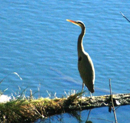 Great Blue Heron at Otter Beach Cove