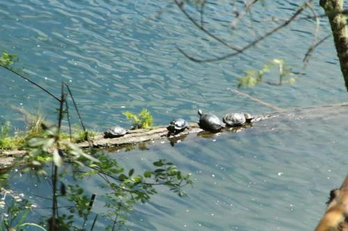 Clear Lake Turtle Family